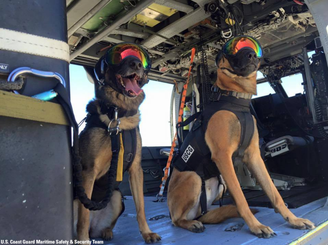 d4b7e27df2 U.S. Coast Guard dogs gear up with eyewear and ear protection to keep them  safe at sea from rotor wash